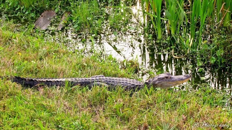 An alligator sunbating at Viera Wetlands