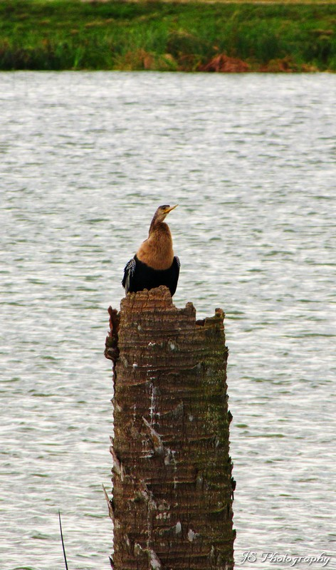 An anhinga sitting on top of a post