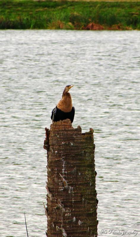 An anhinga sitting on top of a post