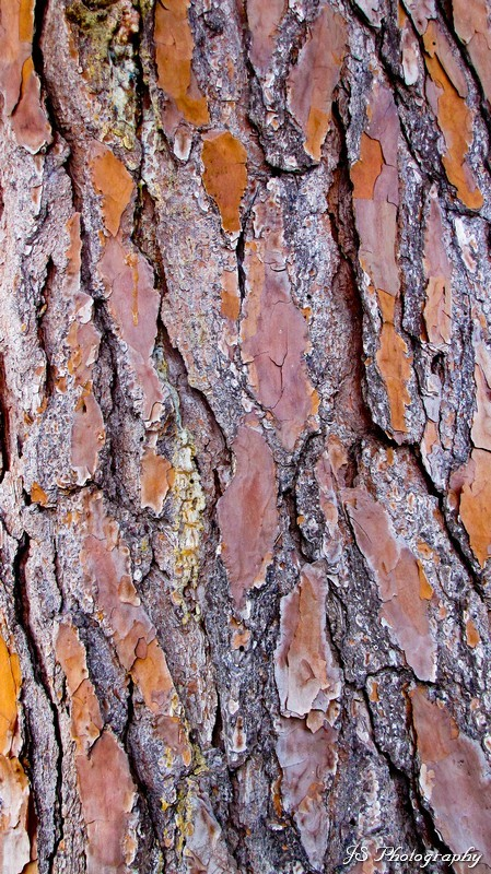Slash pine tree trunk