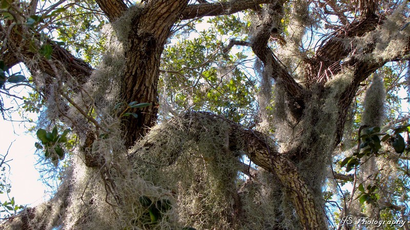 Mature oak tree draped in Spanish Moss