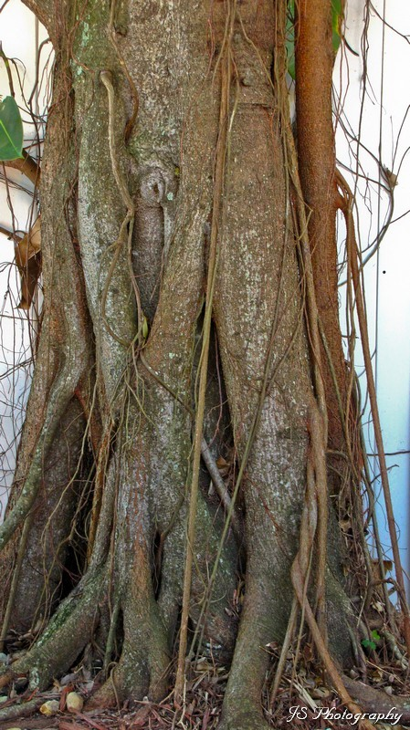 Aerial roots on a mature tree