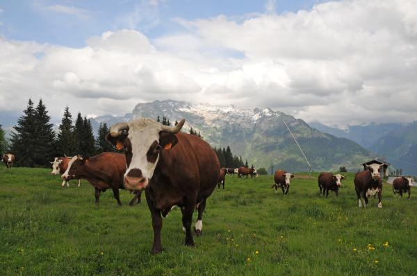 cows' first day in pasture land for summer season