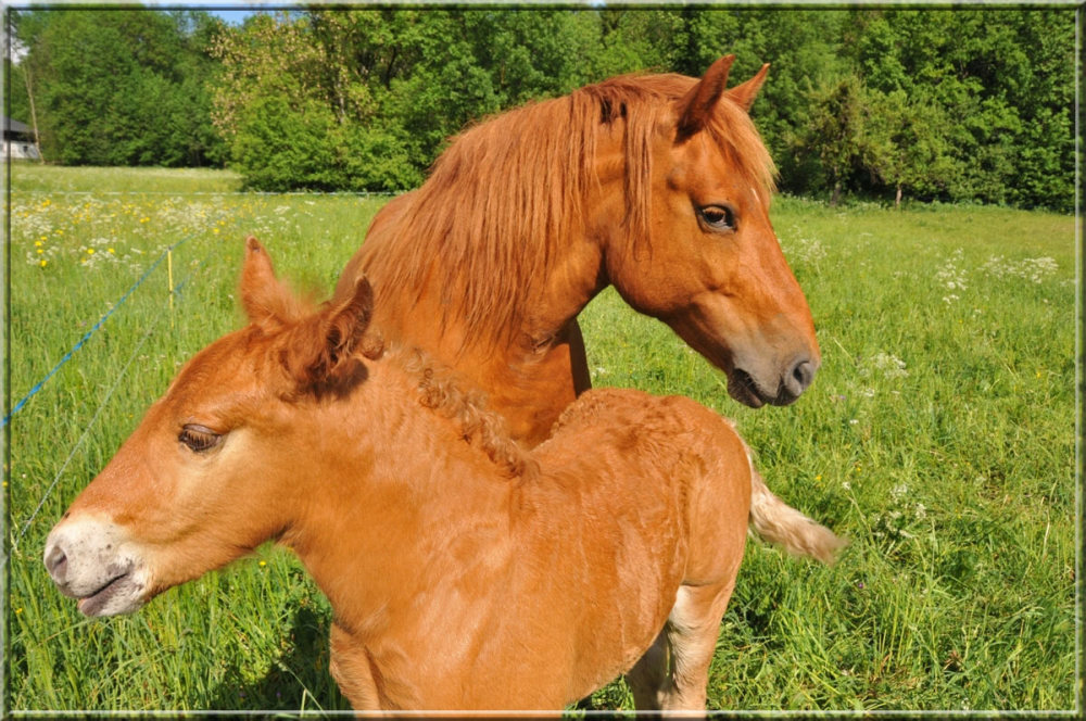 mare and foal in a meadow