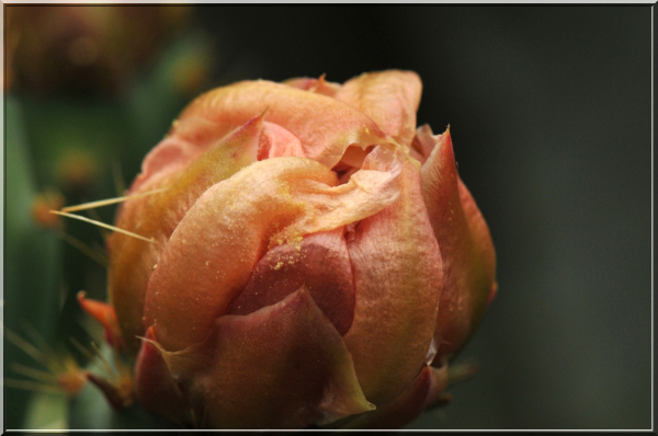 cactus blossom, macrophotography