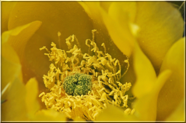 macrophotography of a cactus flower