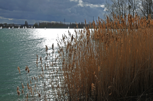 sailing boats behind reeds