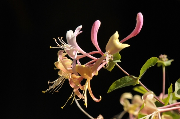 flower of honeysuckle