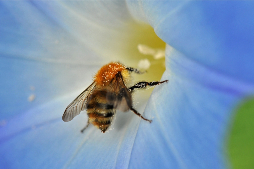 a bee inside a convolvulus flower