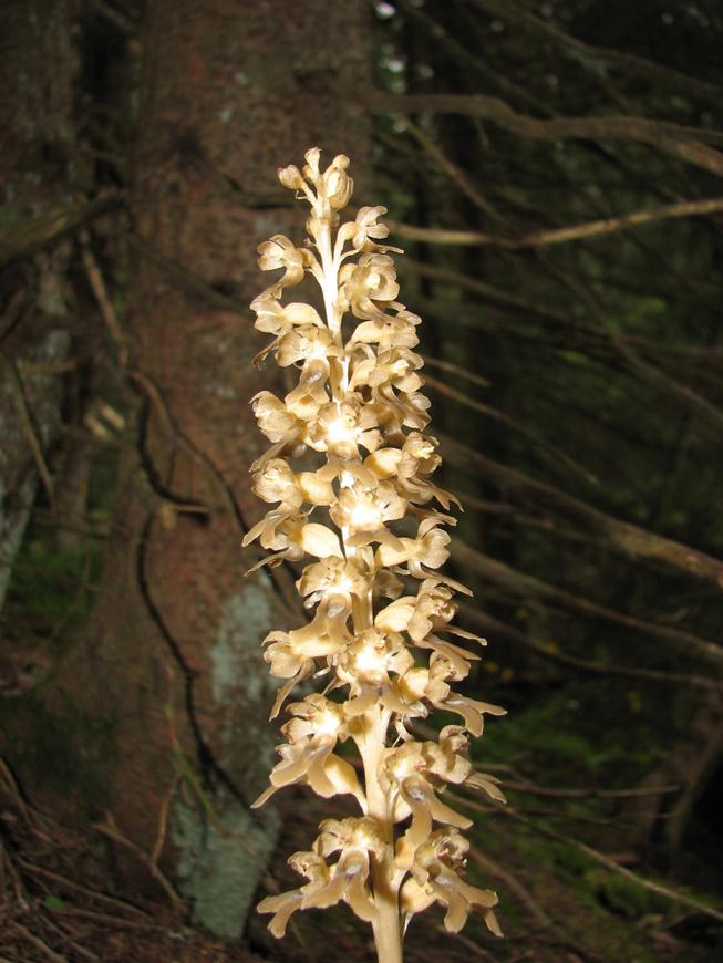 bird's-nest orchid