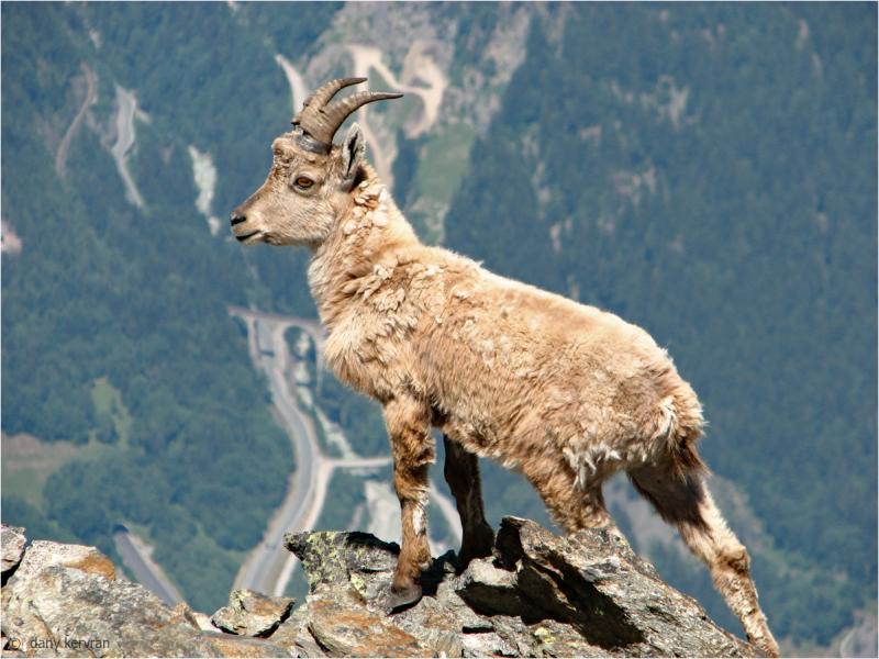 jeune bouquetin     young ibex