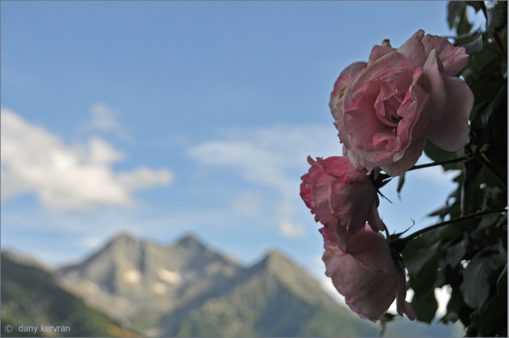 roses in mountains