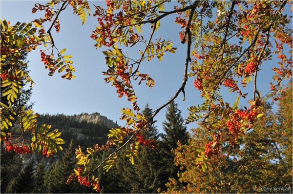 sorb with autumn coloured leaves and mountain