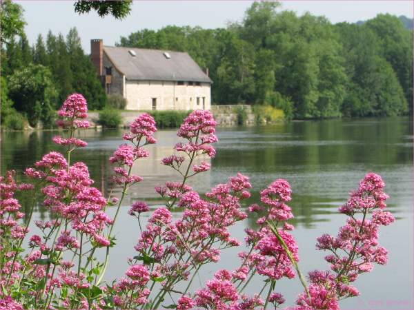 pink flowers in front of water and house