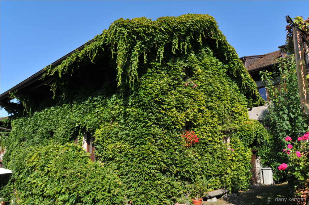 house with ivy in Yvoire