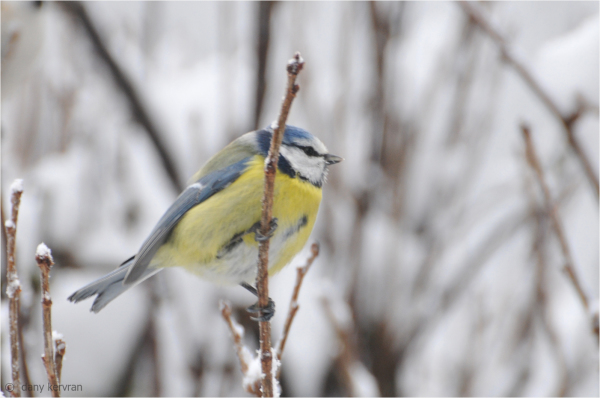 bluetit by snowy weather