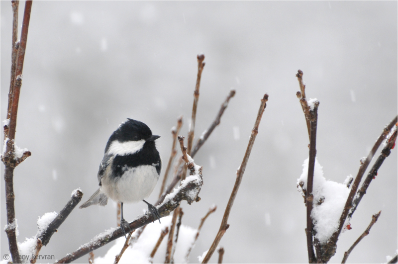 coaltit by snowy weather