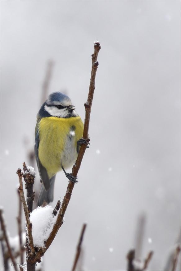 bluetit by snowy weather