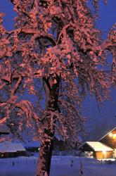 l'arbre rose     rosy tree
