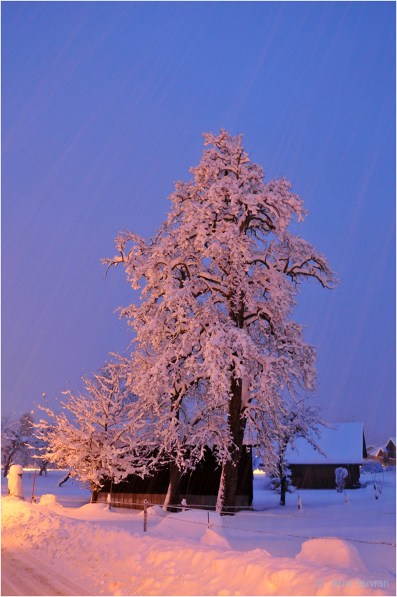 a tree as it snows