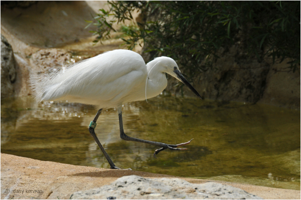 egret kept in zoo