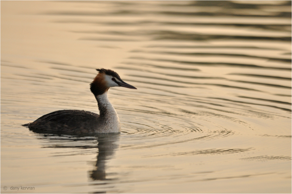 great crested grebe in the mist