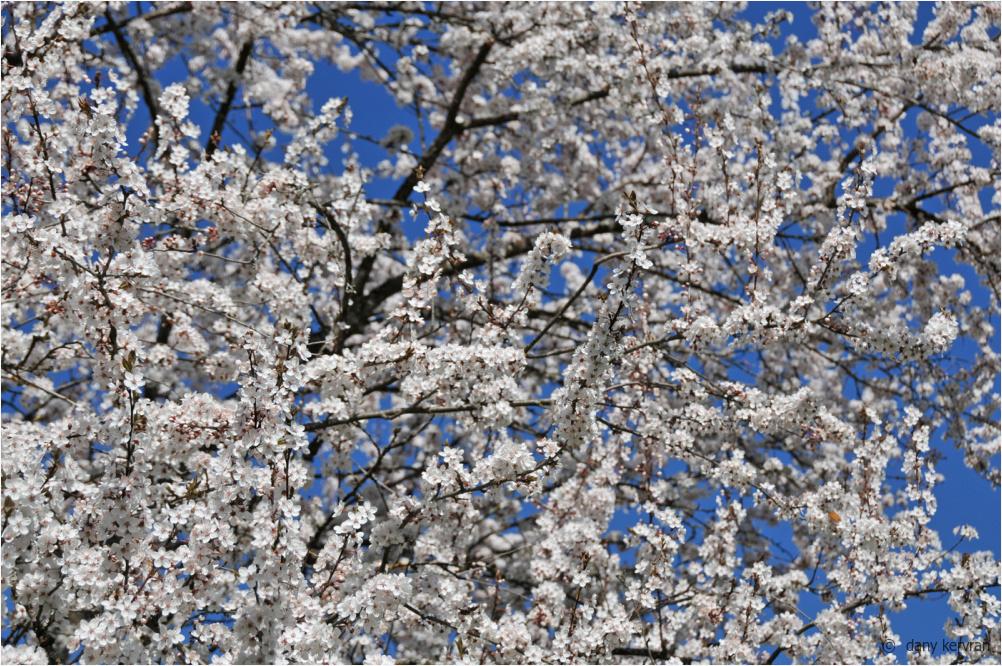 prunus in blossom