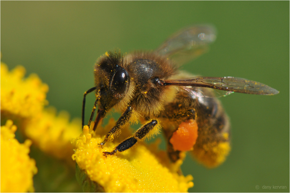 a bee is gathering pollen