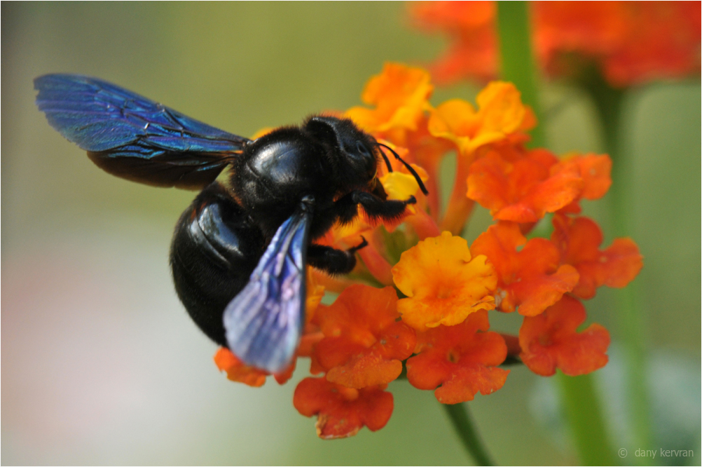 a carpenter bee on orange flowers