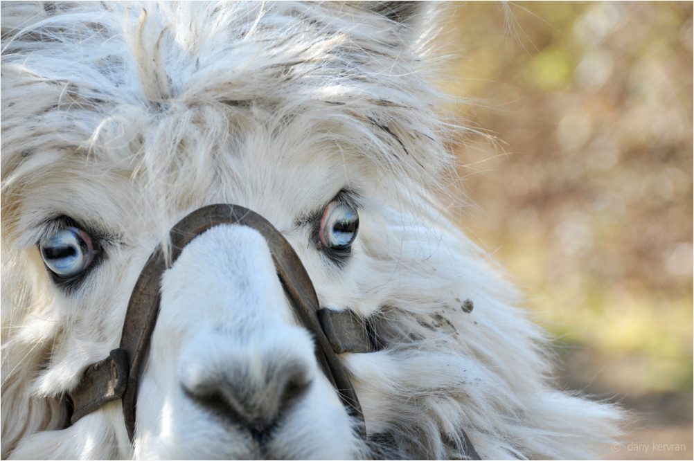 the blue eyes of an alpaca