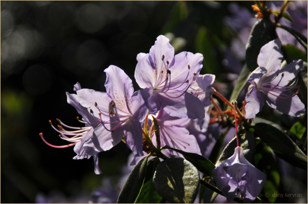 violet rhododendron in the Parc des Moutiers