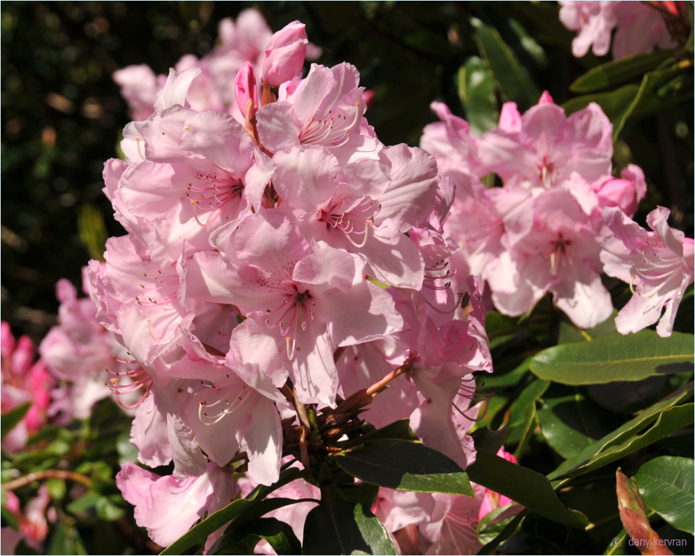 rhododendron blossom, Bois des Moutiers