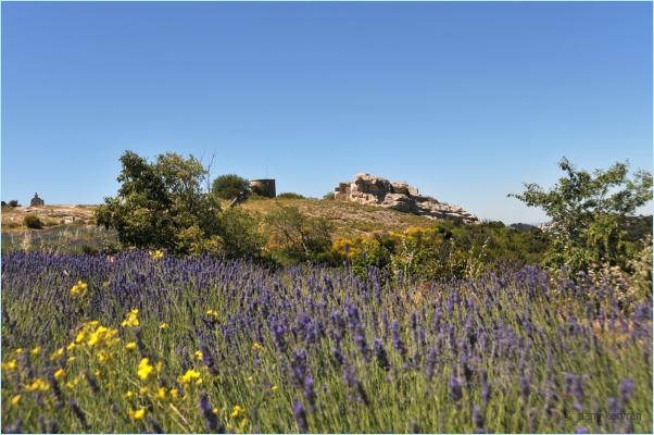 lavender in Les Baux-de-Provence