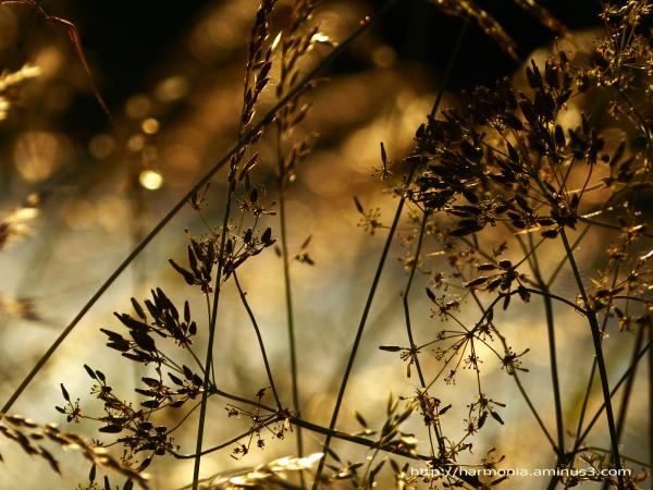 Herbes magiques de la Saint-Jean