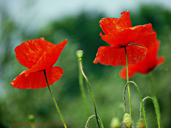 Poppies in Somme battlefields...