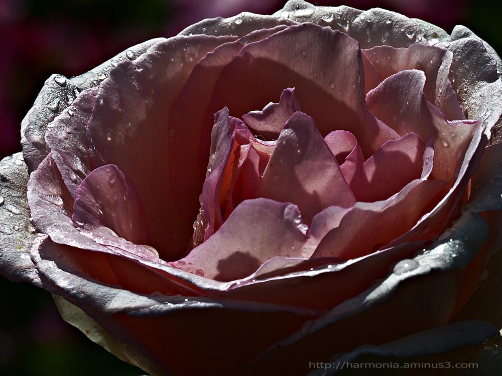 Les filles naissent dans les roses