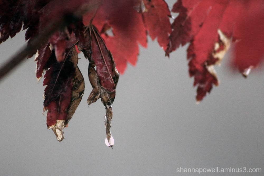 Water dripping from red leaf