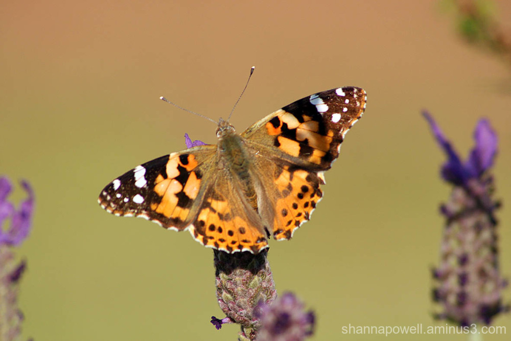 Butterfly resting on lavender