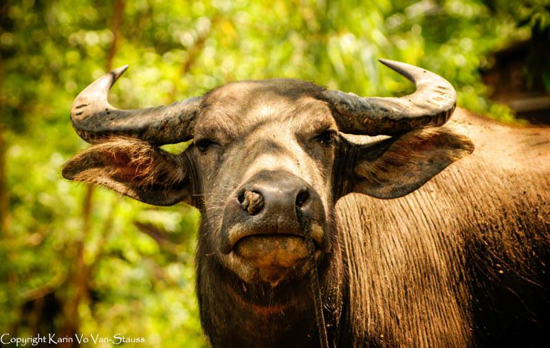 Resting Water Buffalo