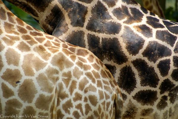 giraffe, zoo, closeup, pattern