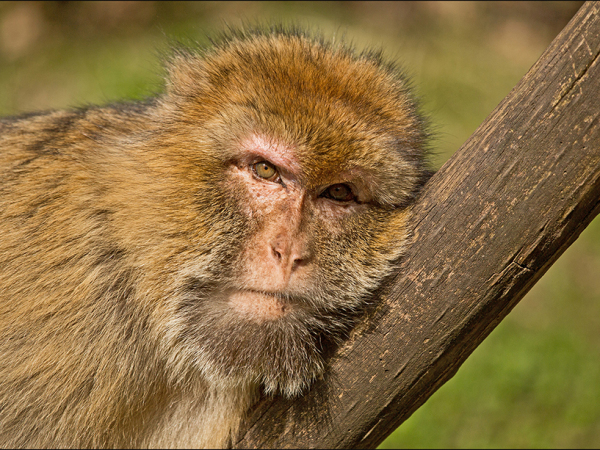 Barbary Macaque taking it easy