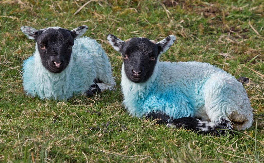 Baa Lambs