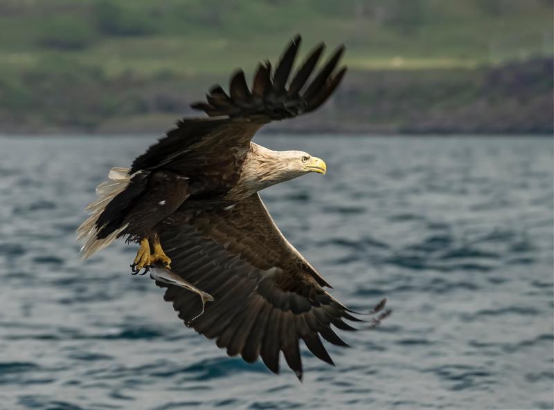 Sea Eagle with catch