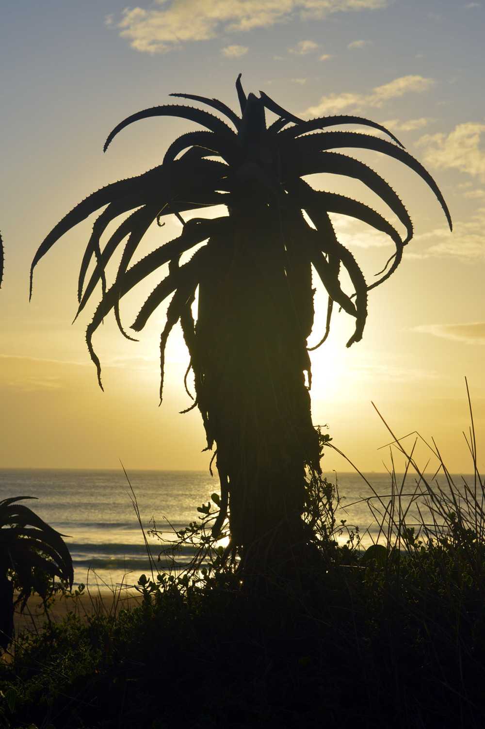 Aloe Silhouette at beach sunrise