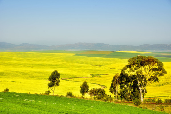 Yellow Canola Crops outside Swellendam