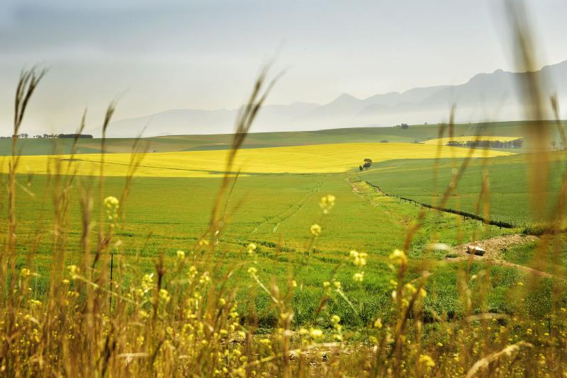 Yellow Canola fields outside Caledon on N2