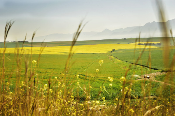Yellow Canola fields outside Caledon on N2