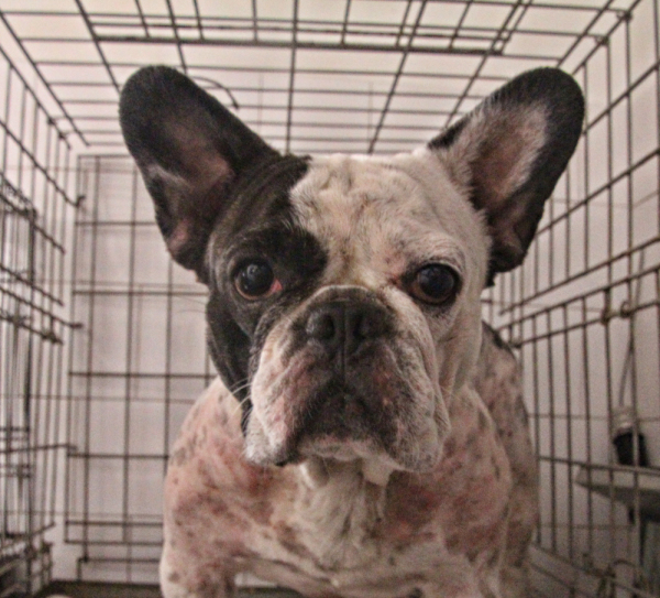 Frenchie waiting the treatment