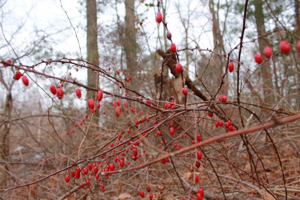 red berries with thorns