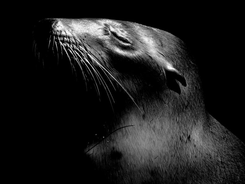 California Sea Lion